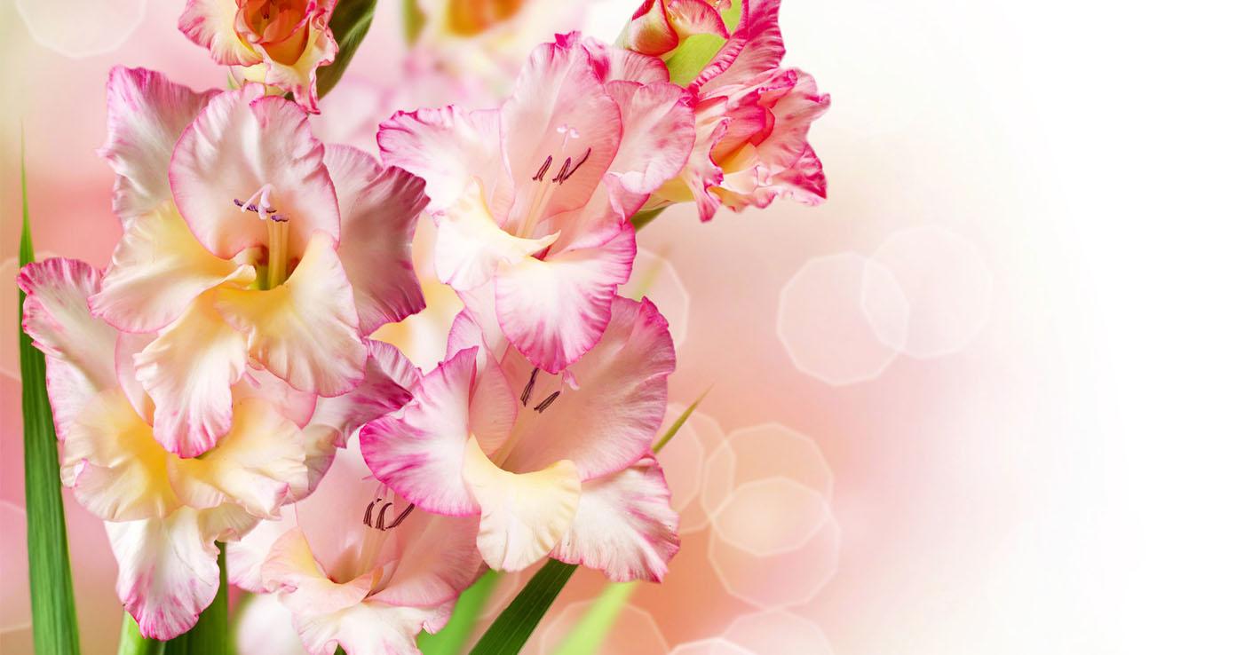 Cveti_Gladiolus