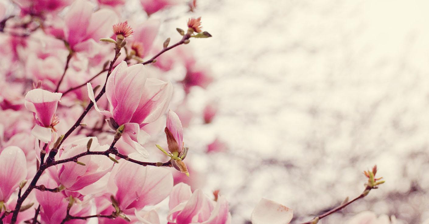 Cveti_Magnolia