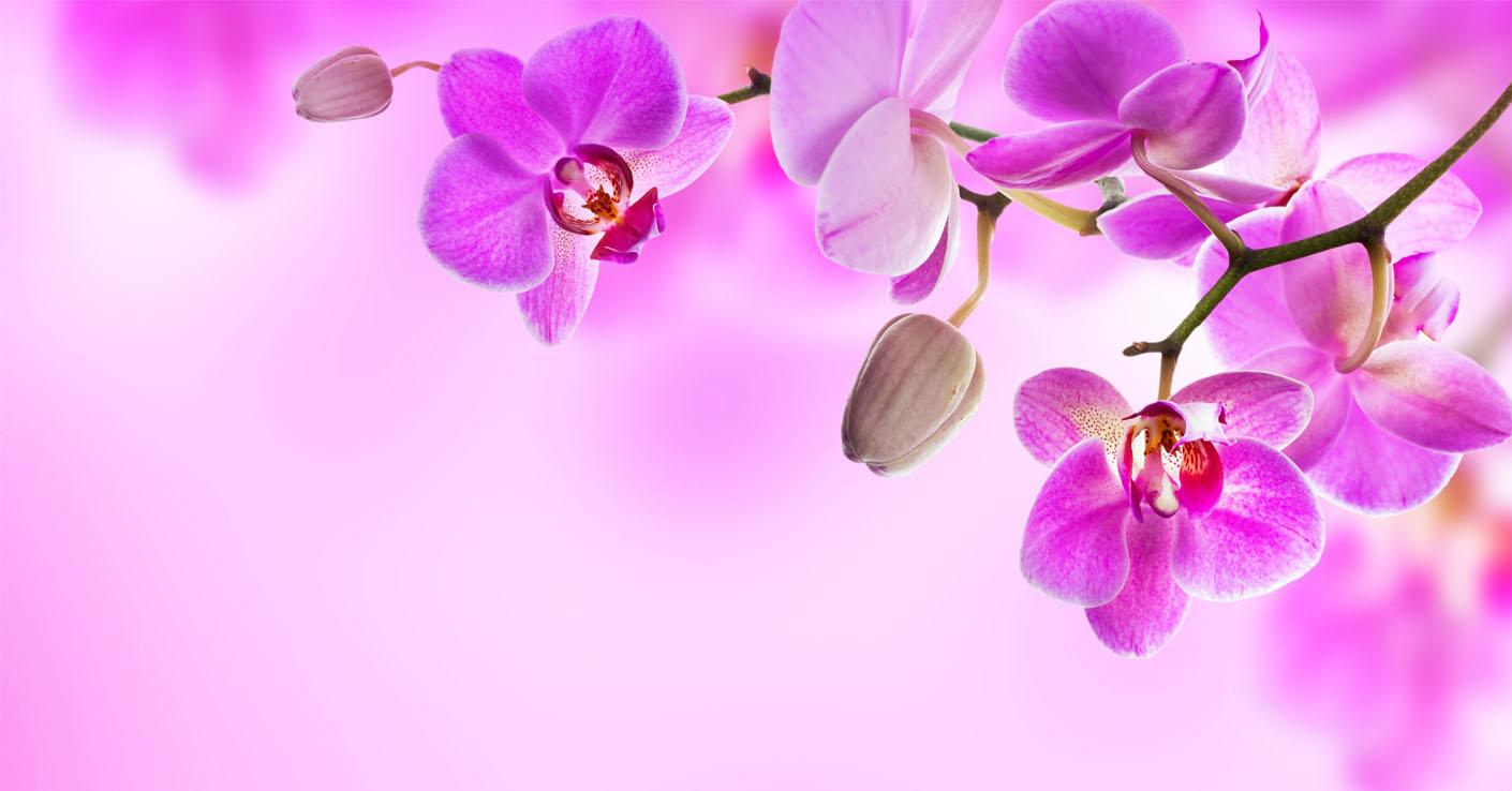 Cveti_Orhidea